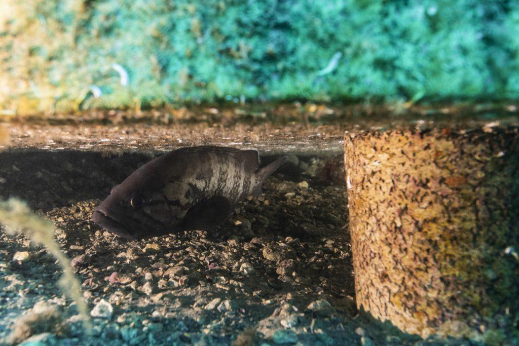 Mérou gris SEABOOST Dalle 2